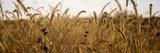 Prairie Grass in a Field Fotografisk trykk