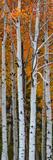 Quaking Aspen (Populus Tremuloides) Trees, Boulder Mountain, Dixie National Forest, Utah, USA Fotografisk trykk av Panoramic Images,