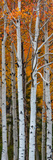 Quaking Aspen (Populus Tremuloides) Trees, Boulder Mountain, Dixie National Forest, Utah, USA Valokuvavedos