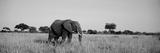 Elephant Tarangire Tanzania Africa Fotografisk tryk
