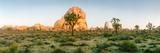 Joshua Trees in Desert at Sunrise, Joshua Tree National Park, San Bernardino County Lámina fotográfica