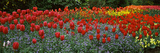 Tulips Blooming in a Garden, St. James's Park, City of Westminster, London, England Fotografisk tryk