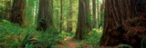Coastal Sequoia Trees in Redwood Forest in Northern California, USA Lámina fotográfica