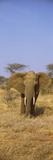 Elephant in a Field, Samburu National Reserve, Kenya Photographic Print by  Panoramic Images