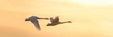 Trumpeter Swans in Flight at Sunset, Riverlands Migratory Bird Sanctuary, West Alton Reproduction photographique