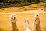 Three Llamas, Sacsayhuaman Ruins, Cusco, Peru, South America Reproduction photographique par Laura Grier