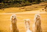 Three Llamas, Sacsayhuaman Ruins, Cusco, Peru, South America Lámina fotográfica por Laura Grier