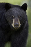 Black Bear (Ursus Americanus), Yellowstone National Park, Wyoming Reproduction photographique par James Hager
