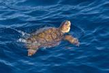 Juvenile Loggerhead Turtle (Caretta Caretta) Swimming with Head Raised Above the Sea Surface Fotografisk tryk af Mick Baines