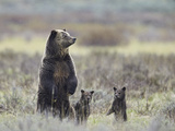 Grizzly Bear (Ursus Arctos Horribilis) Sow and Two Cubs of Year All Standing Up on their Hind Legs Photographic Print by James Hager