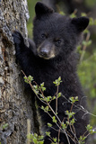 Black Bear (Ursus Americanus) Cub of the Year or Spring Cub, Yellowstone National Park, Wyoming Reproduction photographique par James Hager