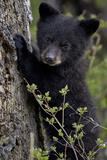 Black Bear (Ursus Americanus) Cub of the Year or Spring Cub, Yellowstone National Park, Wyoming Fotografie-Druck von James Hager