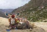 Yak in Drak Yerpa, Tibet, China, Asia Fotografisk tryk af Thomas L