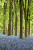Bluebell Wood, Chipping Campden, Cotswolds, Gloucestershire, England, United Kingdom, Europe Photographic Print by Stuart Black
