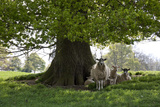 Ewes and Lambs under Shade of Oak Tree, Chipping Campden, Cotswolds, Gloucestershire, England Fotografie-Druck von Stuart Black