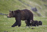 Grizzly Bear (Ursus Arctos Horribilis) Sow and Three Cubs of the Year, Yellowstone National Park Reproduction photographique par James Hager