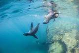 Curious California Sea Lion Pups (Zalophus Californianus), Underwater at Los Islotes Lámina fotográfica por Michael Nolan