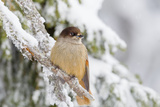 Siberian Jay (Perisoreus Infaustus), Perched on a Snow Covered Branch, Taiga Forest Reproduction photographique par Garry Ridsdale