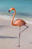 Flamingo on Flamingo Beach, Renaissance Island, Oranjestad, Aruba, Lesser Antilles Fotoprint av Jane Sweeney