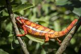 Red Panther Chameleon (Furcifer Pardalis), Endemic to Madagascar, Africa Reproduction photographique par Matthew Williams-Ellis