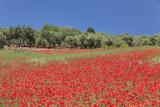 Field of Poppies and Olive Trees, Valle D'Itria, Bari District, Puglia, Italy, Europe Fotografie-Druck von Markus Lange
