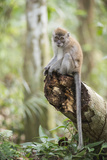Long Tailed Macaque (Macaca Fascicularis) in the Jungle at Bukit Lawang Fotografisk trykk av Matthew Williams-Ellis