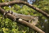 A Green Iguana (Iguana Iguana) (Common Iguana) (American Iguana), in the Jungle of Costa Rica Photographic Print by Stuart Forster