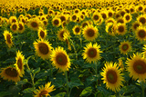 Sunflowers, Near Chalabre, Aude, France, Europe Photographic Print by James Strachan