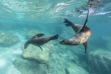 California Sea Lions (Zalophus Californianus), Playing Underwater at Los Islotes Lámina fotográfica por Michael Nolan