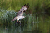A Satellite Tracked Osprey (Pandion Haliaetus) Flying Above a Small Loch with a Fish in its Talons Reproduction photographique par Garry Ridsdale