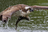 Osprey (Pandion Haliaetus) Flying Low Above the Water with a Freshly Caught Fish in its Grasp Reproduction photographique par Garry Ridsdale