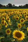 Sunflowers, Near Chalabre, Aude, France, Europe Fotografie-Druck von James Strachan