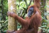 Female Orangutan (Pongo Abelii) in the Jungle Near Bukit Lawang, Gunung Leuser National Park Fotografisk trykk av Matthew Williams-Ellis