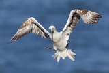 Juvenile Gannet (Morus Bassanus) in Flight Above the Sea at Bempton Cliffs, Yorkshire, England Reproduction photographique par Garry Ridsdale