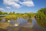 Egret in Mangroves, Playa Pesquero, Holguin Province, Cuba, West Indies, Caribbean, Central America Photographic Print by Jane Sweeney