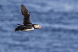 Adult Atlantic Puffin (Fratercula Arctica) in Flight with Fish in its Bill, Snaefellsnes Peninsula Reproduction photographique par Michael Nolan