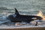 Orca (Orcinus Orca) and South American Sea Lion (Otaria Flavescens), Patagonia, Argentina Lámina fotográfica por Pablo Cersosimo