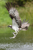 Osprey (Pandion Haliaetus) Flying Above a Pond with a Fish Grasped in its Talons Reproduction photographique par Garry Ridsdale