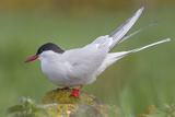 Arctic Tern (Sterna Paradisaea)Perched on a Rock on the Farne Islands, Northumberland, England Reproduction photographique par Garry Ridsdale