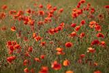 Uk. Wiltshire. Marlborough Downs. Poppies in the Evening Sun. Fotografie-Druck von Niels Van Gijn