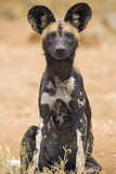 Kenya, Laikipia County, Laikipia. a Juvenile Wild Dog Showing its Blotchy Coat and Rounded Ears. Fotografisk tryk af Nigel Pavitt