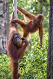 Indonesia, Central Kalimatan Fotografie-Druck von Nigel Pavitt