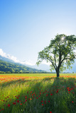 Europe, France, Haute Savoie, Rhone Alps, Poppy Field Photographic Print by Christian Kober