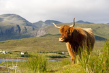 Uk, Scotland, Outer Hebrides, Harris. Highland Cow in the Wild, Aline Estate. Impressão fotográfica por John Warburton-lee