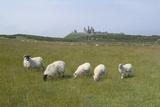 Sheep in a Field Beneath the Ruins of 14th Century Dunstanburgh Castle Craster England Foto von Natalie Tepper