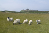 Sheep in a Field Beneath the Ruins of 14th Century Dunstanburgh Castle Craster England Photo by Natalie Tepper