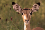 Impala Portrait, Ruaha National Park, Tanzania - an Alert Ewe Stares Directly at the Camera Fotografisk tryk af William Gray