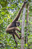 Indonesia, Central Kalimatan, Tanjung Puting National Park. a Bornean White-Bearded Gibbon. Lámina fotográfica por Nigel Pavitt