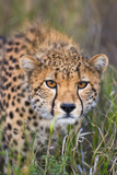 Kenya, Lewa Conservancy, Meru County. a Sub-Adult Cheetah Stalking its Prey in Lewa Conservancy. Lámina fotográfica por Nigel Pavitt