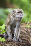 Indonesia, Flores Island, Moni. a Long-Tailed Macaque Monkey in the Kelimutu National Park Fotografisk trykk av Nigel Pavitt